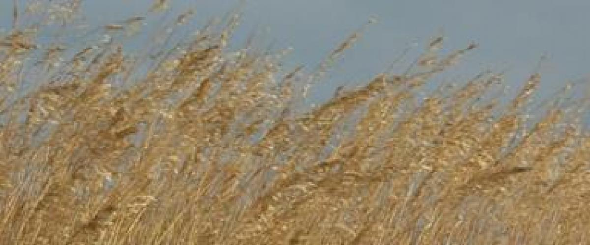 Sea oats blow about in the breeze